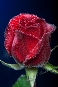 Rose in water with blue background