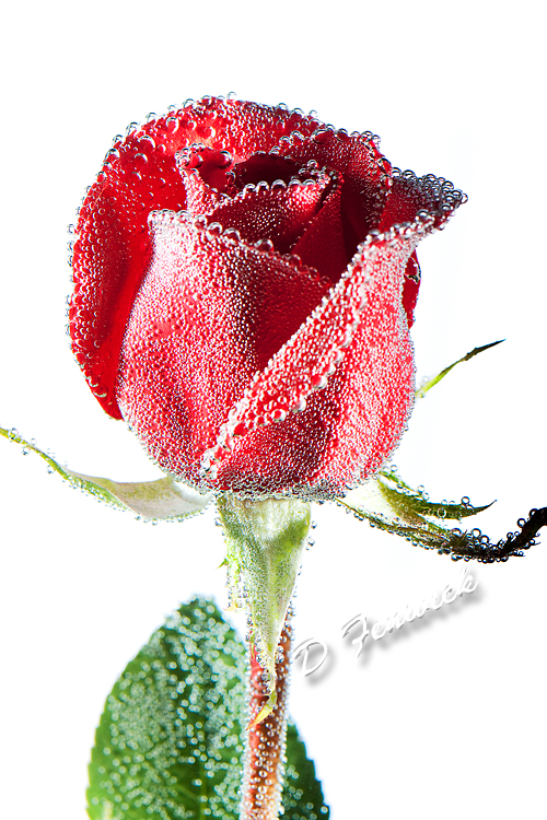 Valentines Rose on white