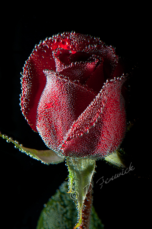 Red rose for Valentines on black background