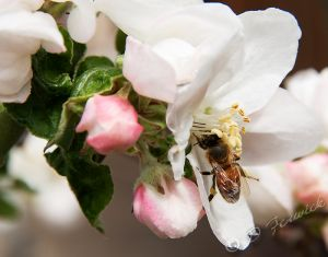 bee-appleflower-web.jpg