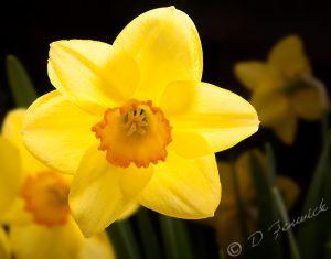 daffodil-web.jpg