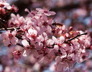 flowering-plum.jpg