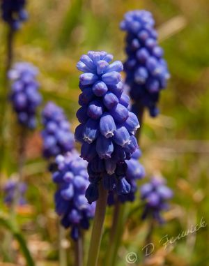 grape-hyacinth.jpg